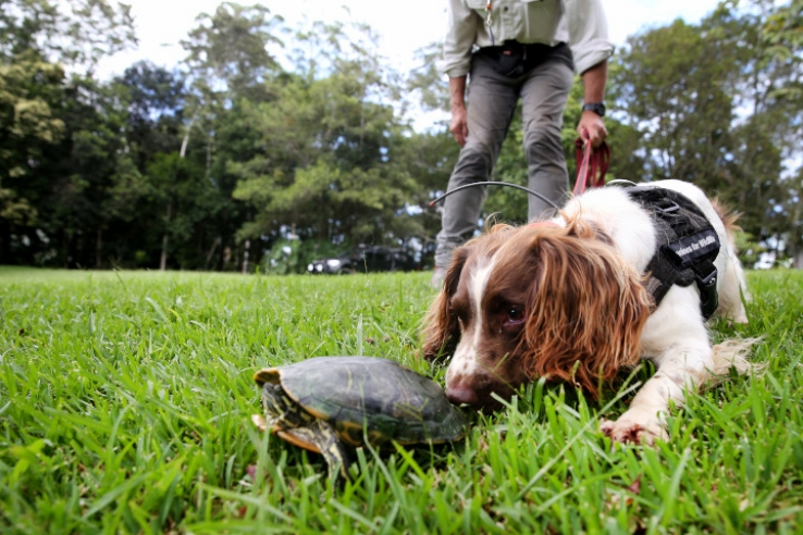 A scent detector dog finds an invasive turtle.