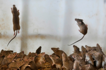 A colony of mouse pests on NSW farm photographed by a Frontier Services staff.